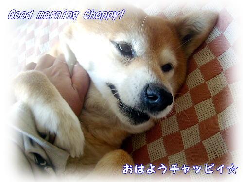 おはよう豆柴チャッピィ
