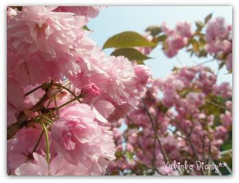 八重桜3P