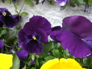 またまた紫