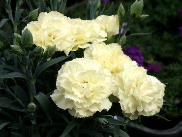 carnation-1.jpg