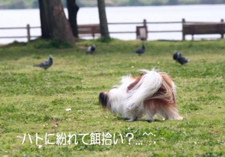 ハトと一緒に餌あさり~(#^.^#)