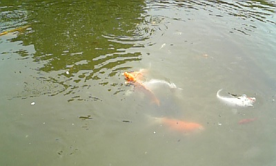 病院の池の鯉