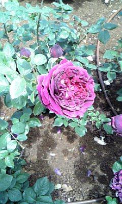 紫のバラ(何のバラ?)
