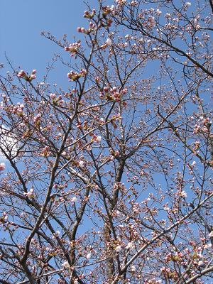 愛知池の桜3.27
