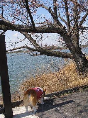 桜よりクンクン3.27