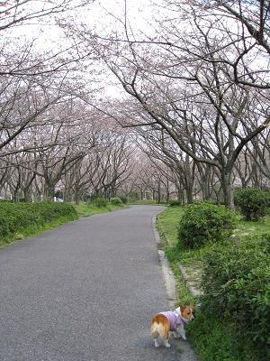 平和公園の桜3.28