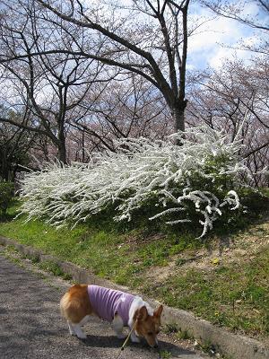 雪柳と桜3.28