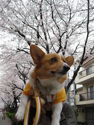 桜を見る3.30
