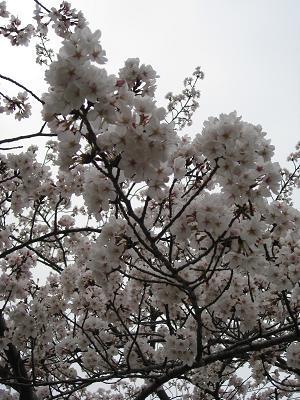 天白川堤防の桜4.2