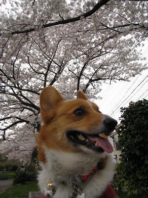 桜の下で4.2