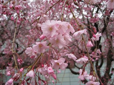 しだれ桜4.2