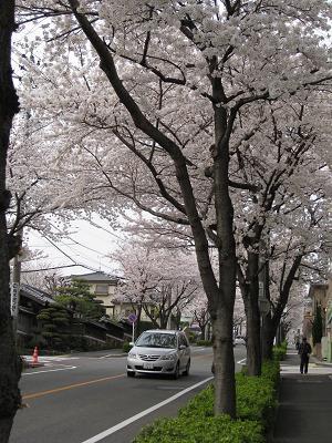 道路沿いの桜4.2