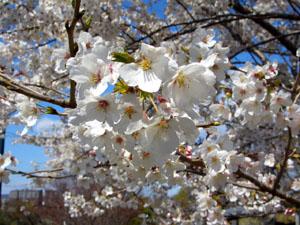 防災の丘公園の桜