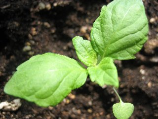 516紫蘇(種)