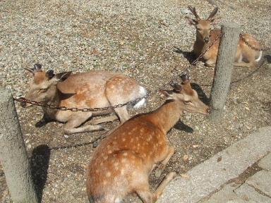 奈良公園の鹿・2
