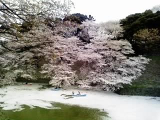 心を揺さぶる風景 九段下の桜