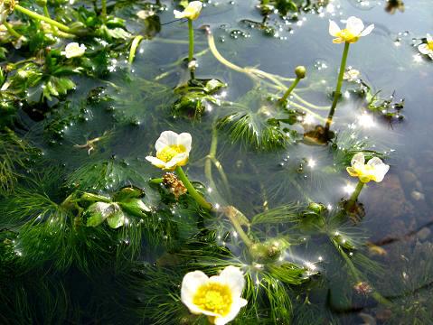三島梅花藻 3