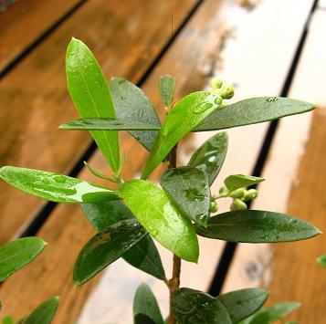 オリーブの木2