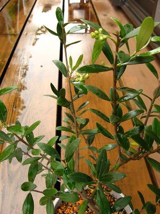 オリーブの木3