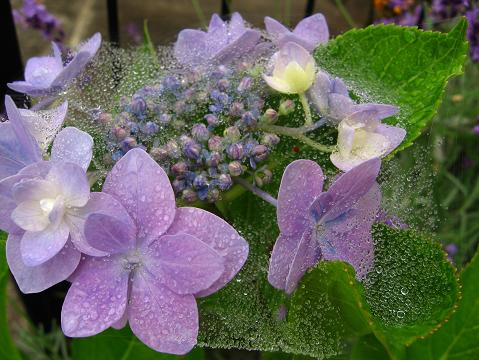 ベールをかぶった紫陽花