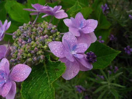 紫陽花とラベンダーのその後