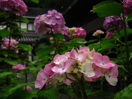 青龍殿前の紫陽花