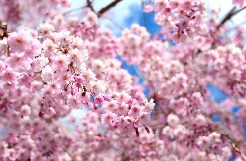 より咲く。