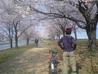 桜並木、週末は賑わうでしょうね・・・