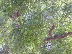 保育園の木2