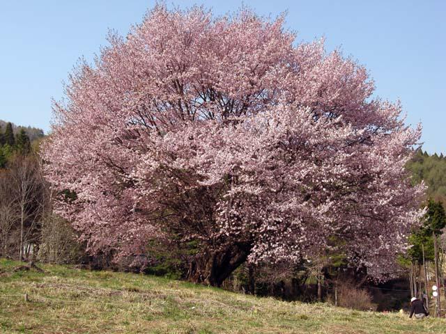 5月1日 天王桜