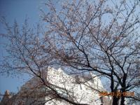 八幡小学校の桜