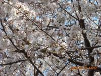 八幡小学校の桜ズーム