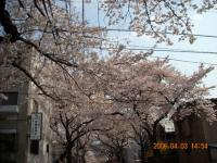 田向公園の通りの桜並木