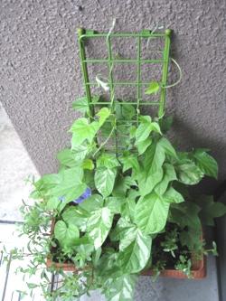 チューリップとハーブを植えてみた。。。