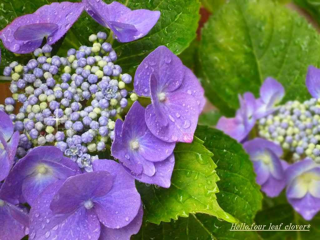 1024x768 梅雨 の あじさい が 美しい壁紙 紫陽花 壁紙